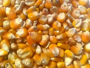 maize starch efficiency